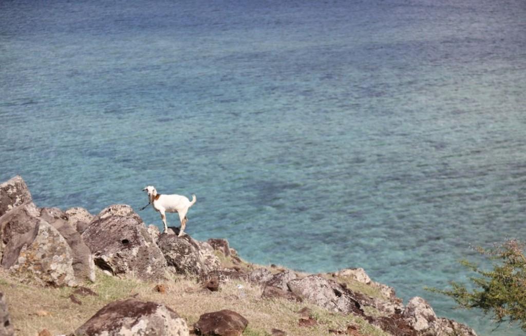 Une scène magique de la vie rodriguaise, avec ce cabri blanc au bord des falaises. Crédit photo: M. Garreau.