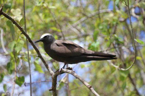Article : Rodrigues : l'île aux Cocos, l'île aux oiseaux