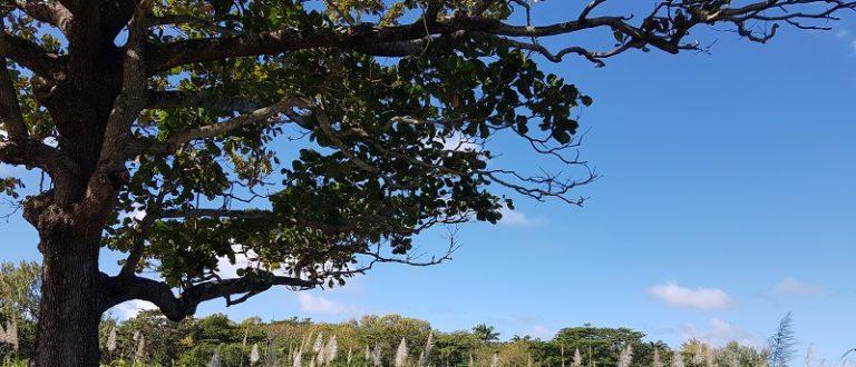 Article : Île Maurice : quand le sucre se met à table
